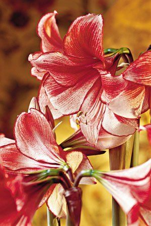 Amaryllis After Christmas Now What Amaryllis Bulbs Amaryllis Flowers Amaryllis
