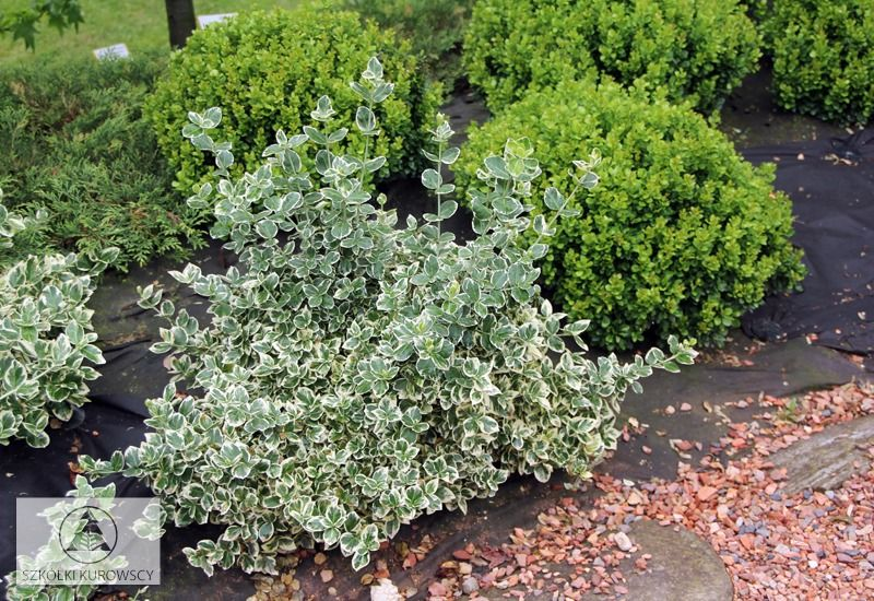 euonymus fortunei 39 emerald gaiety 39. Black Bedroom Furniture Sets. Home Design Ideas