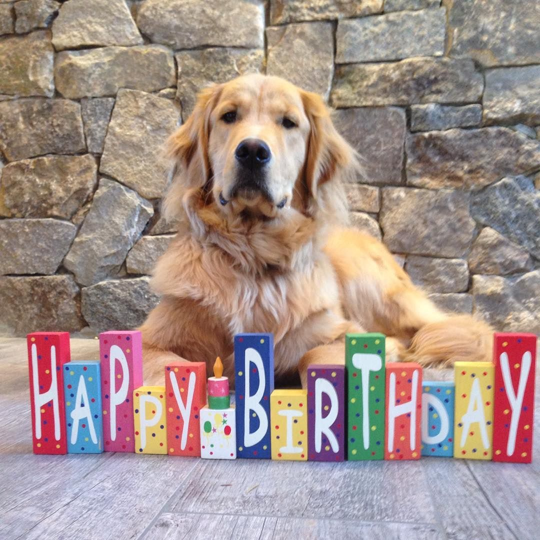 Rugbie ♥ Happy birthday golden retriever, Golden