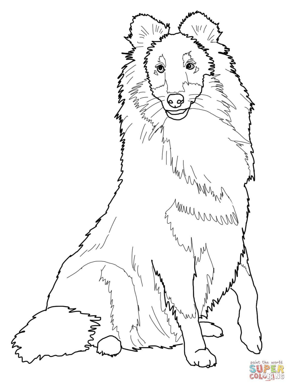 Sheltie Shetland Sheepdog Coloring Page Free Printable Coloring Pages Dog Coloring Page Shetland Sheepdog Blue Merle Shetland Sheepdog