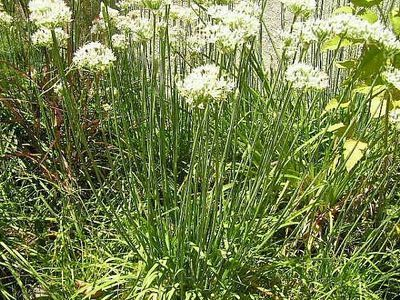 How To Plant Chives From Seeds Ehow Chives Plant Planting Herbs Types Of Herbs