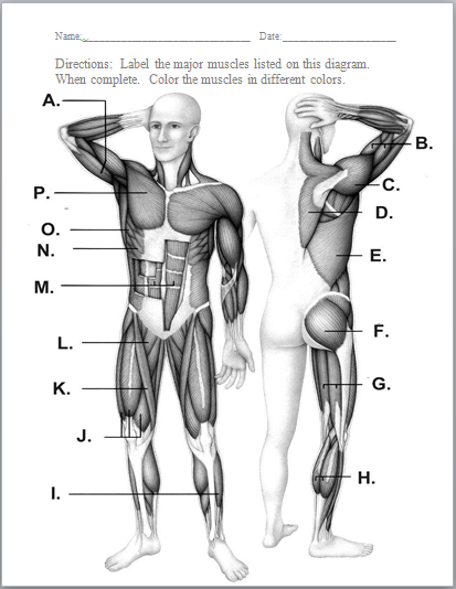 muscular system worksheets muscular system and human body. Black Bedroom Furniture Sets. Home Design Ideas