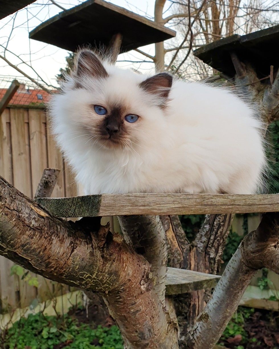 Birman Kitten Miss Daisy Divine Chintei Seal Point 12 Weeks Old Sacre De Birmanie Chat Birmanie