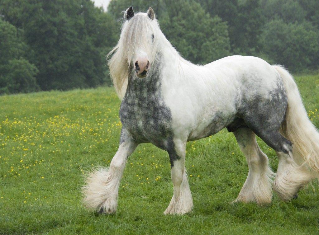 Gypsy Vanner ♥ #horses #nature #animals