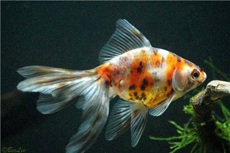 Goldfish From My Outside Tank Fantail Goldfish Goldfish Veiltail Goldfish