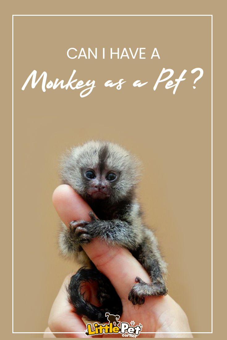 Can i have a monkey as a pet pet monkey pets monkey