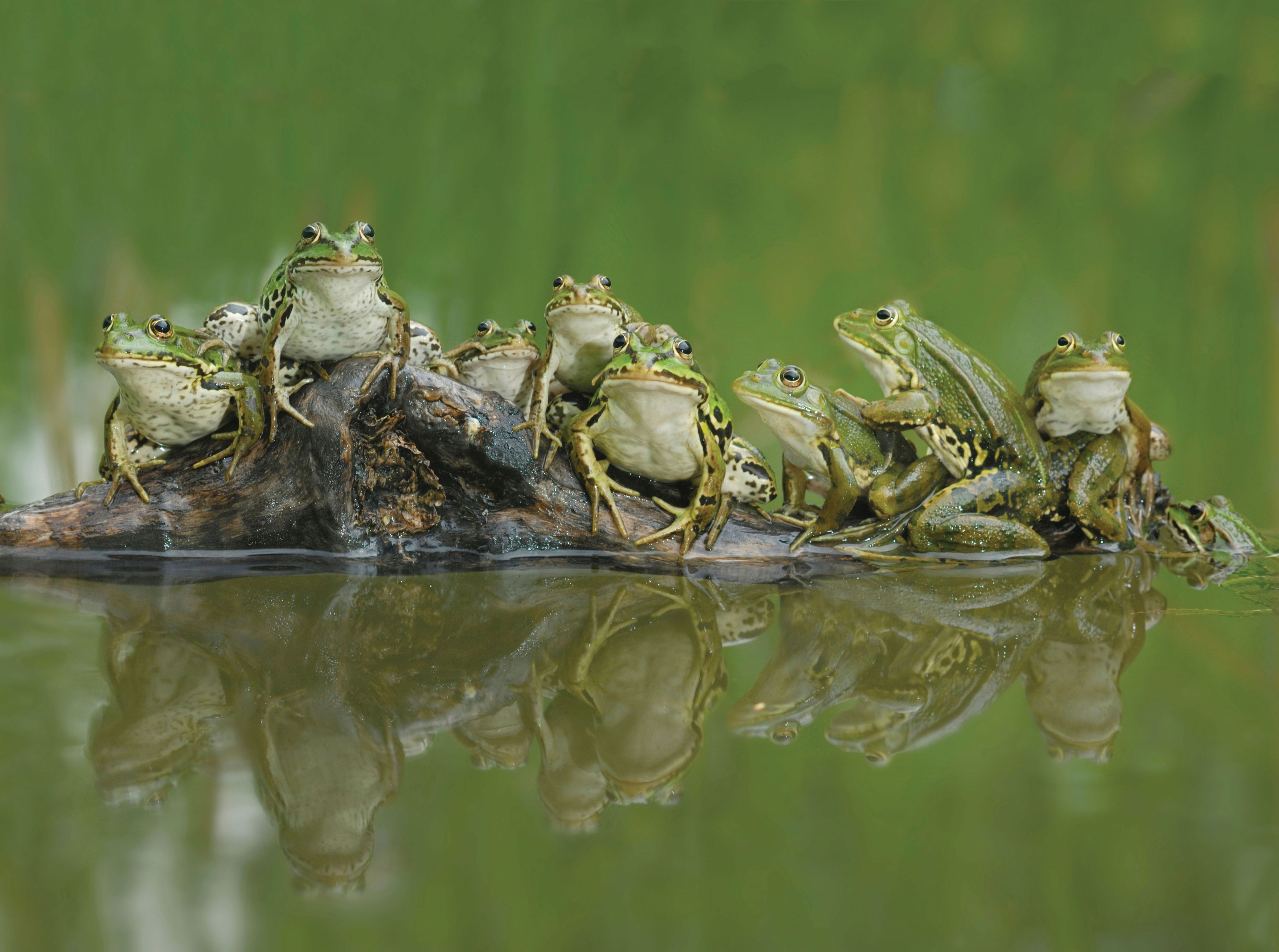 Alamy Ad4a9p Frogs On A Log