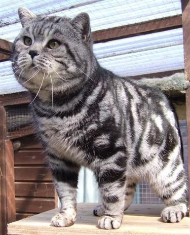 Our Boy Tigatails British Shorthair Silver Tabbies Spotteds Tabby Cat British Shorthair Cats American Shorthair Cat