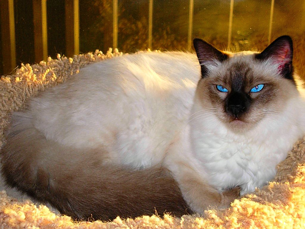 Permes Cattery : Information about the balinese breed | CATS ...