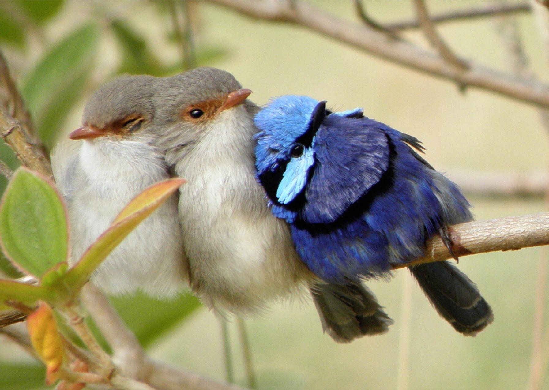 Image result for blue wren from denmark/western australia