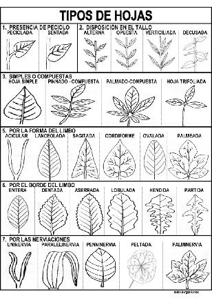 Ficha para reconocer los principales tipos de hojas. Nivel: Primaria ...