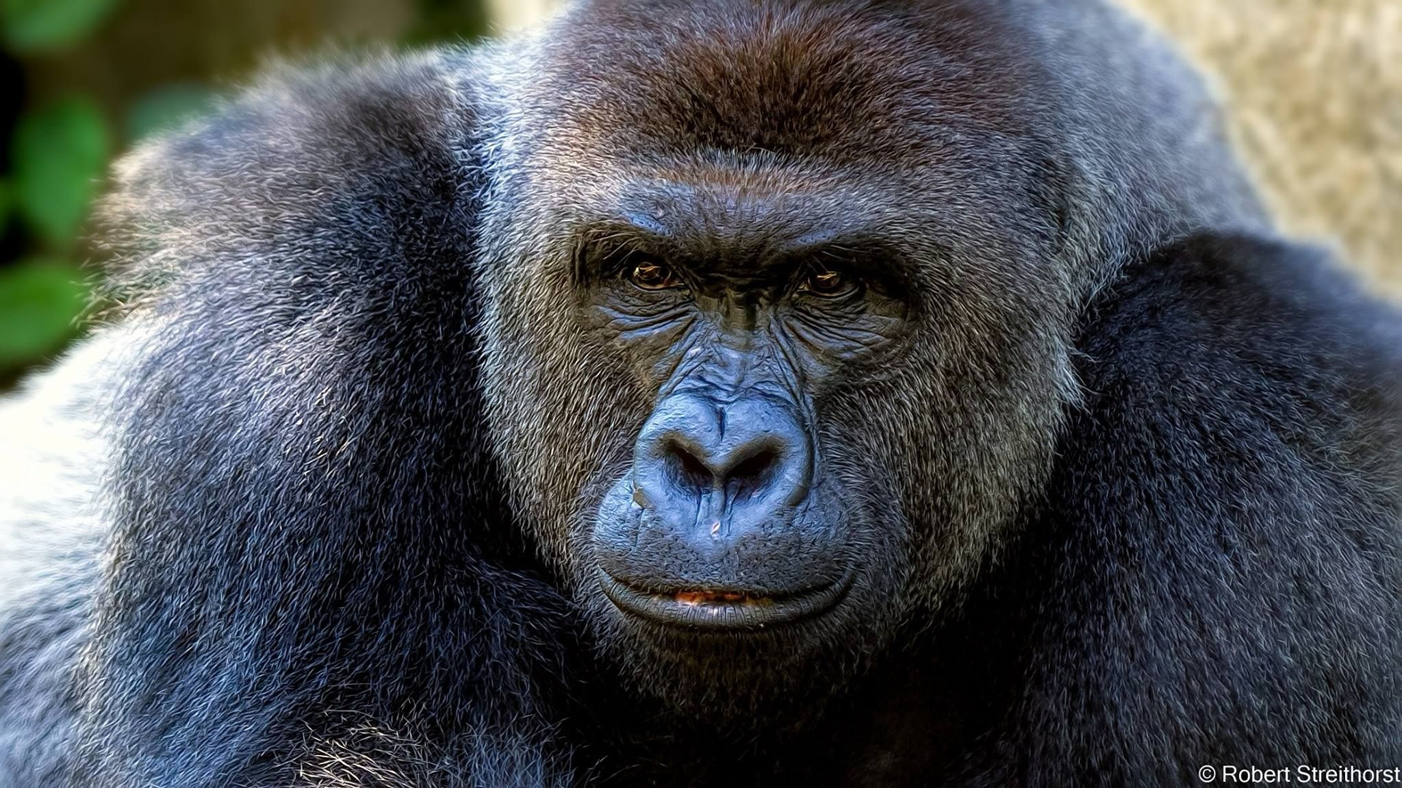 Harambe | MONKEYS~~ GORILLAS~~ | Pinterest
