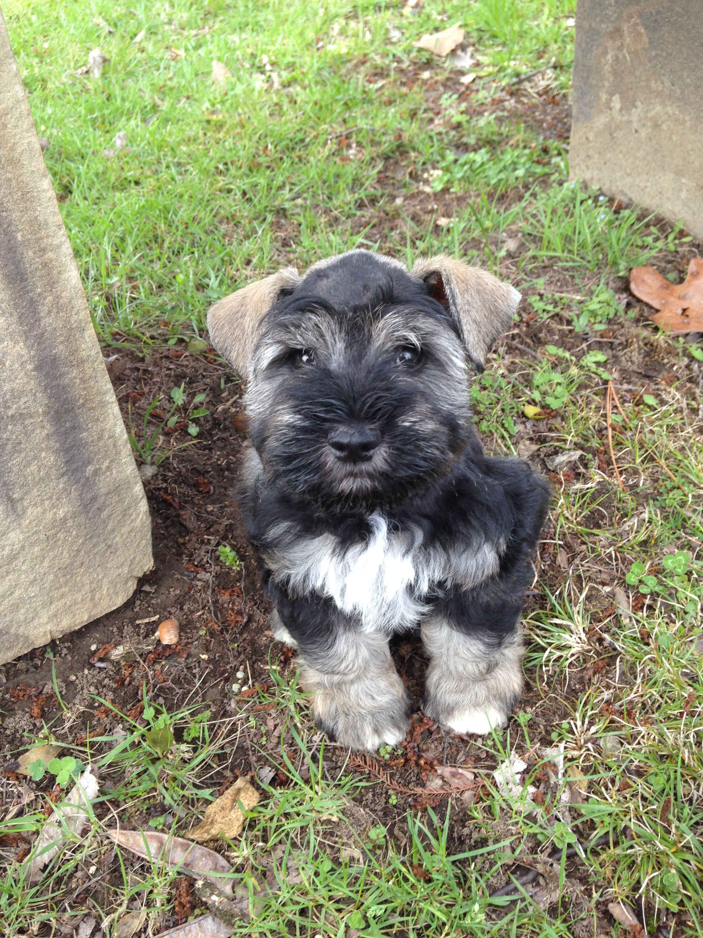 Winchester My 9 Week Old Black And Silver Parti Mini Schnauzer