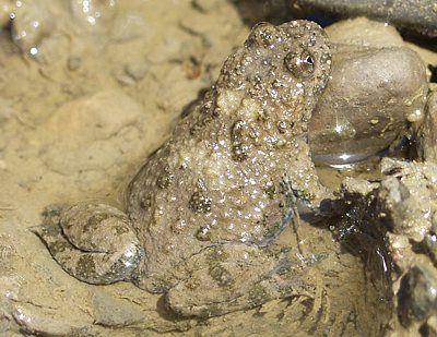 Gelbbauchunke Frosch Und Krote Krote Frosche