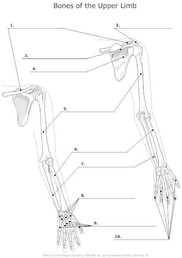 Bones Body Diagram Unlabeled