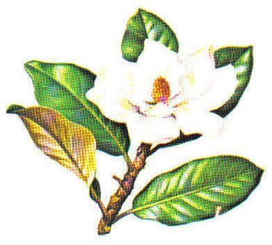 Southern Magnolia Form Magnolia Trees Hardwood Tree Identification