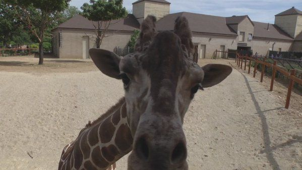 "Como Zoo on Twitter: ""Have you had the chance to feed the Giraffes yet?! #ComoZoo https://t.co/mz0BsnSrw4"""