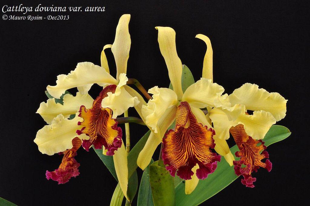 Cattleya Dowiana Var Aurea Beautiful Orchids Cattleya Orchids