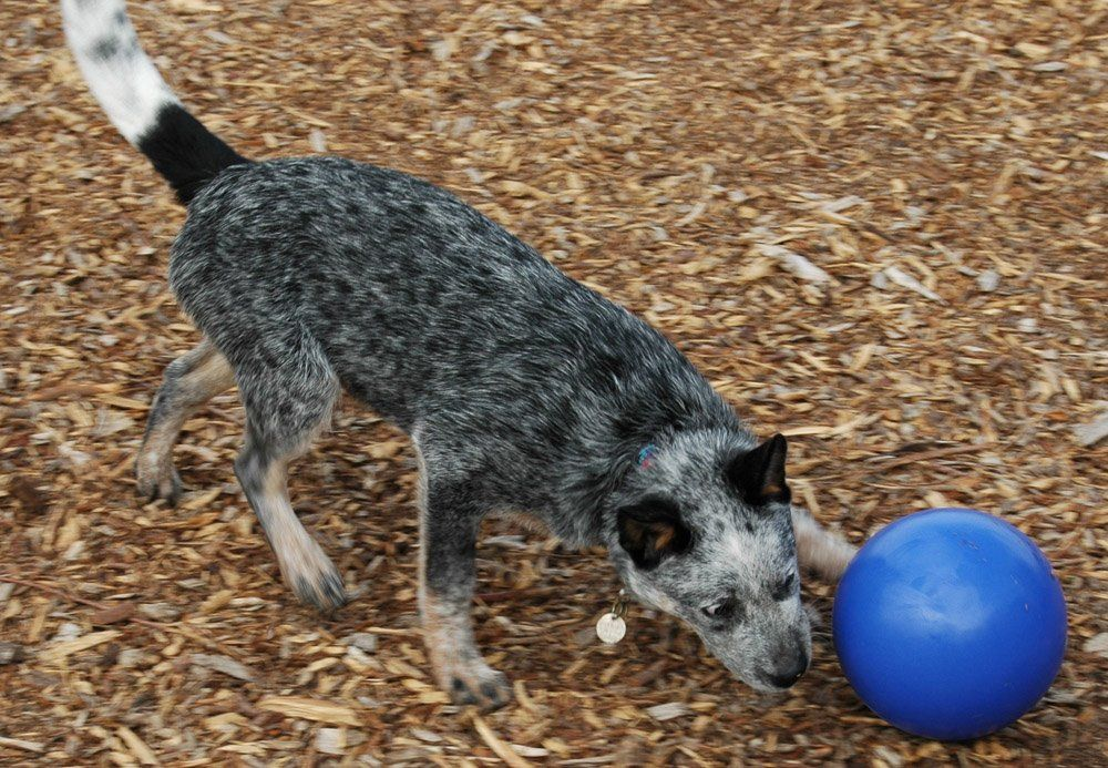 The Company Of Animals Boomer Ball Durable And Indestructible Dog