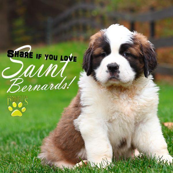 Saint Bernard Puppies For Sale St Bernard Puppy Puppies Saint