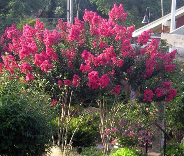 Buy pink velour crape myrtle online backyard design pinterest crape myrtle pink velour a low maintenance flowering tree that has showy bright pink flowers that bloom all summer long buy online at garden goods direct mightylinksfo