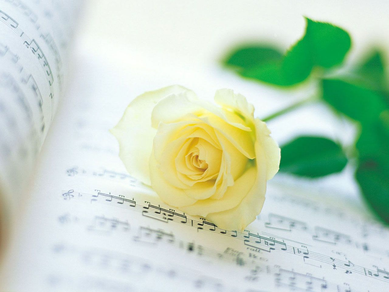 Hd wallpaper yellow rose - Yellow Roses Wallpaper Rose Wallpaper Yellow Rose Hd Wallpaper Download Free