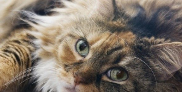 Does My Cat Have Feline Diabetes? — health article from