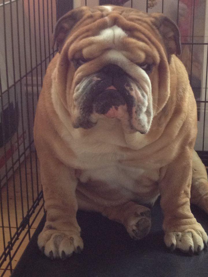 Grumpy George Bulldog Puppies Dogs Cute Animals