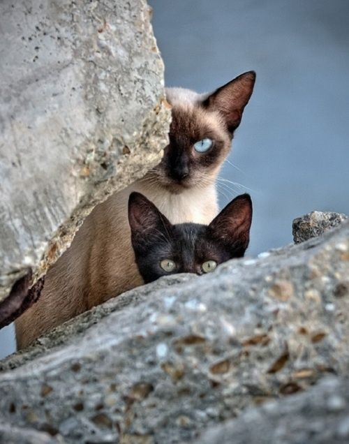 No I Don T Think They Can See Us Cats Pets Siamese Cats
