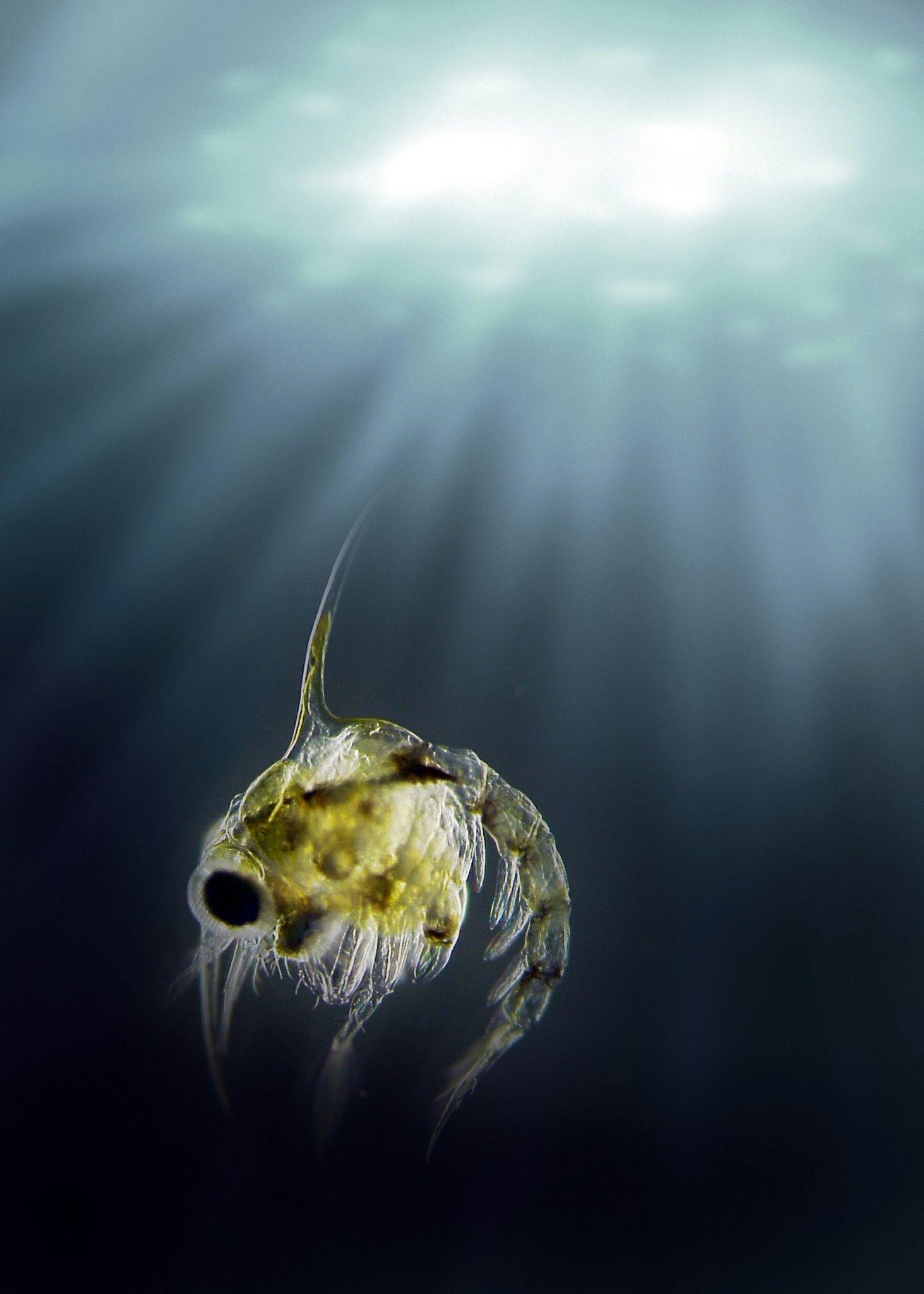 zooplankton crab larvae | Literal | Pinterest | Crabs
