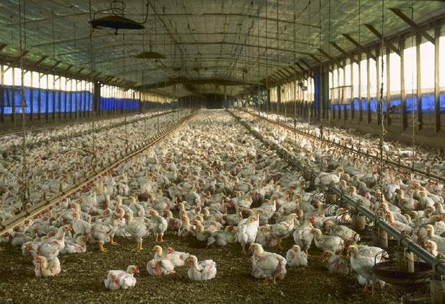 Us Poultry Gains New Market Access In Morocco The Rogue