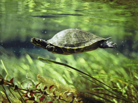 what kind of water do painted turtles live in