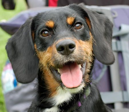 Cady The Dachshund Black And Tan Coonhound Hundeliebe Hunde