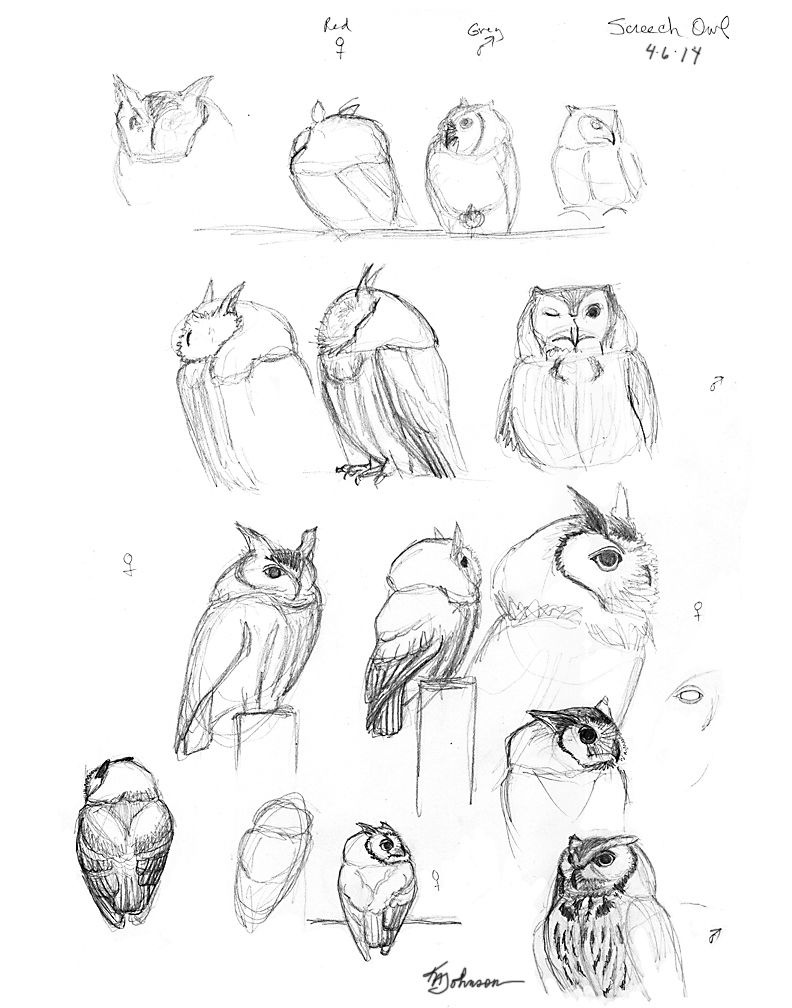 - How To Draw An Owl, Screech Owl Drawing Sketchbook By Nature