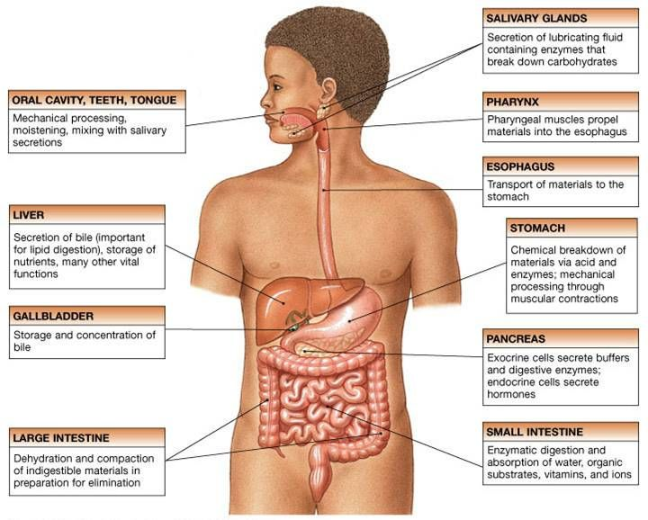 Nursing Physiology Review of the digestive system | Medical ...