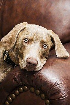 Resultado de imagen para weimaraner on sofa