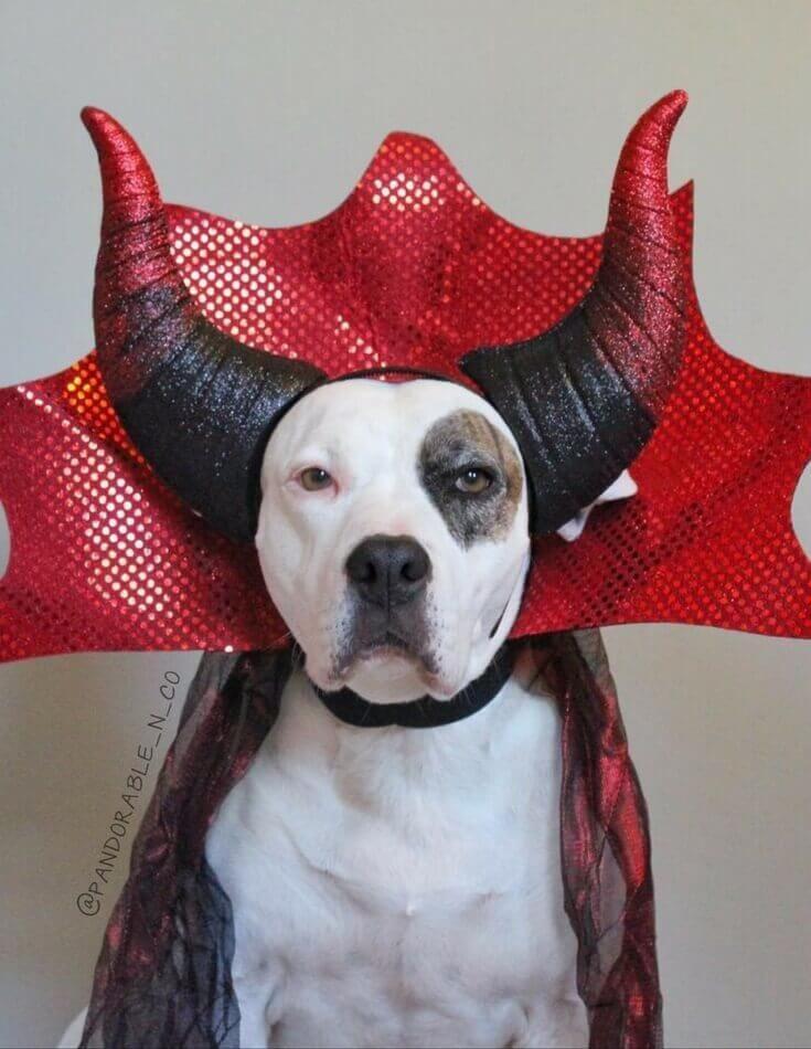 Dog Halloween Photo Dog Halloween Costumes Pitbull Halloween