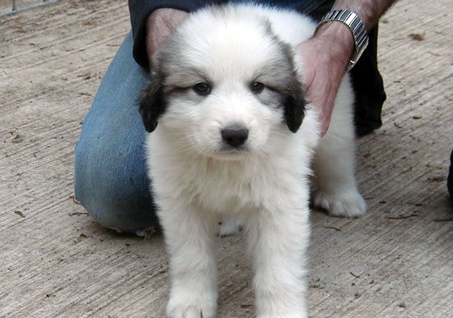 Pyrenean Mountain Dog Pyrenean Mountain Dog Puppies For Sale In