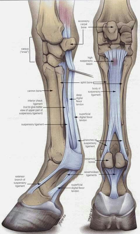 Ligamentos y tendones d miembros anteriores | Un poco d Anatomía ...