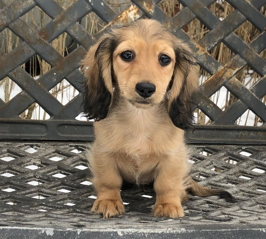 Miniature Dachshund Pups Available For Sale Mare Bella Dachshunds In 2020 Dachshund Puppy Miniature Dapple Dachshund Puppy Dachshund Puppies