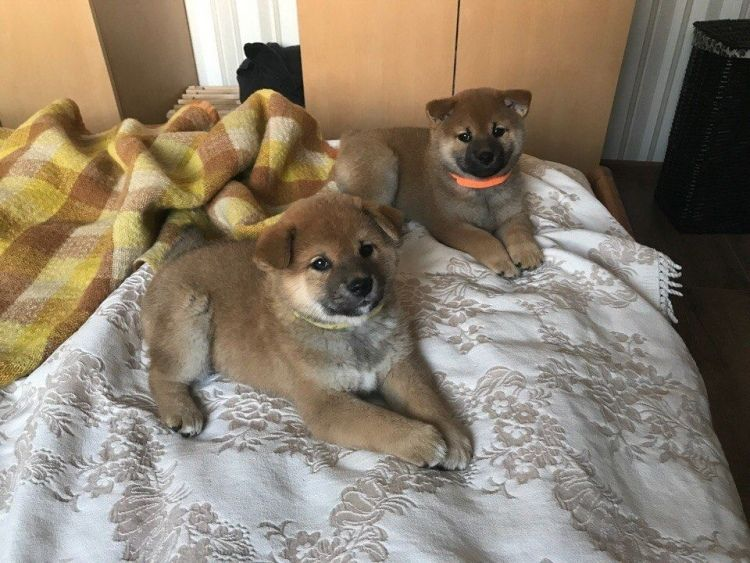 Japanese Shiba Inu Puppies Ready Now For Sale Adoption From Manila