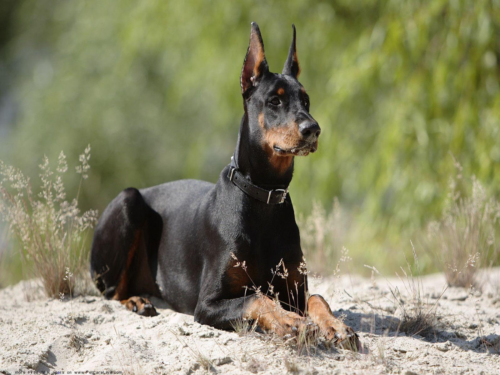 локоны сочетают доберман фото собаки описание них