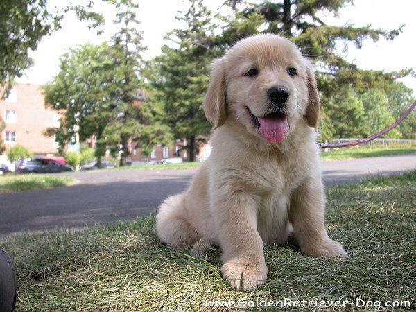 Golden Retriever Puppy Photo Gallery Golden Retriever Puppy