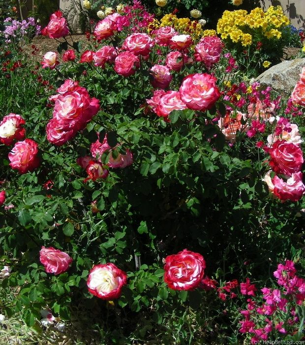 Double Delight Rose Click To Enlarge Double Delight Rose