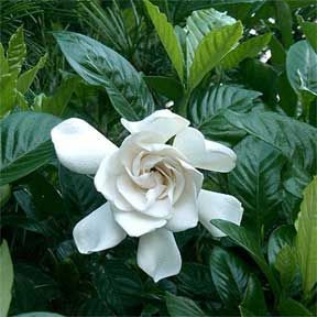 Gardenia Problems Leaves Turning Yellow Bud Drop Gardenia Plant August Beauty Gardenia Popular Flowers