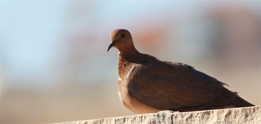 Palm Dove
