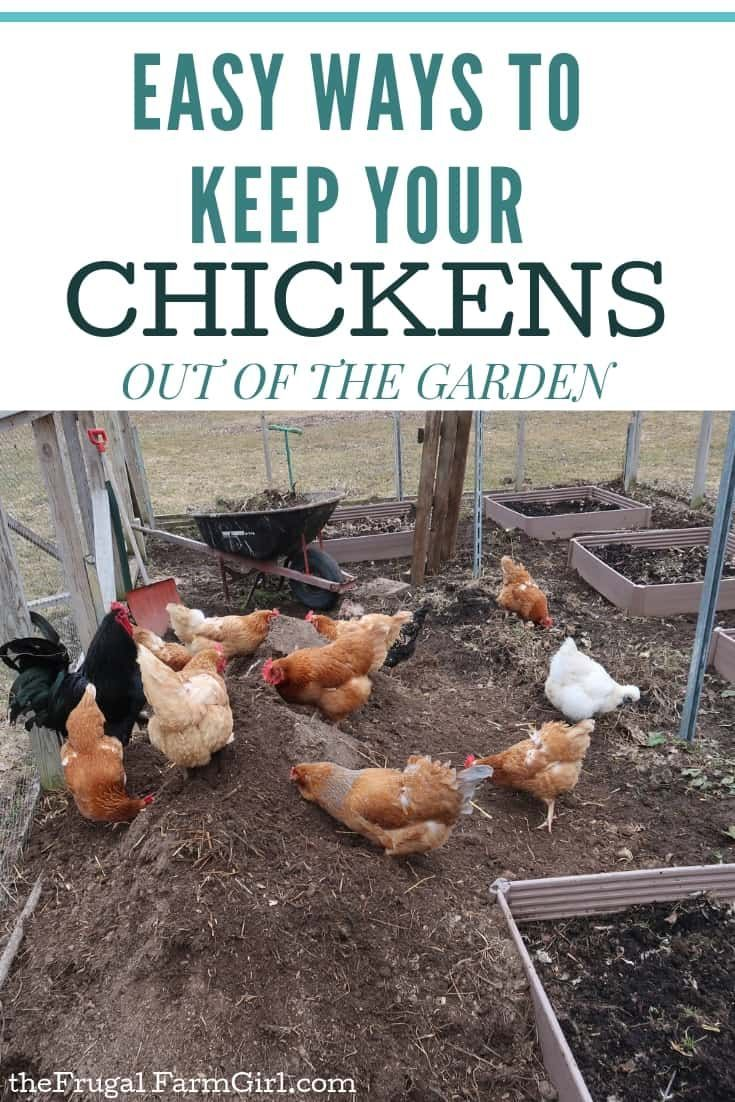 How to Keep Chickens Out of Your Garden When You Free ...