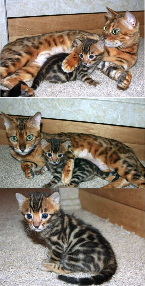 Bengal cats for sale vancouver bc