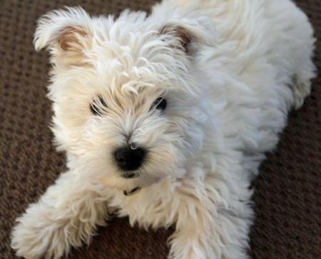 Madison The West Highland Terrier Westie Puppies Westie Terrier
