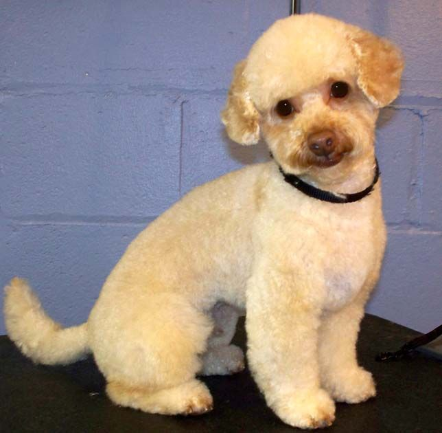 Short Teddy Bear Clip With Short Ears Poodle Grooming Poodle